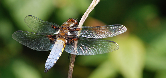 Broad bodied Libellula Male