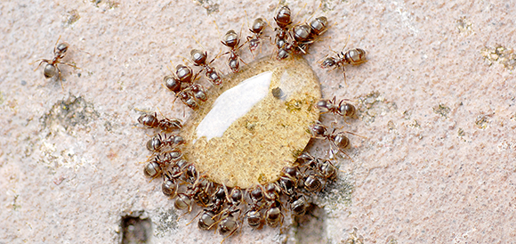 Ants sipping honey