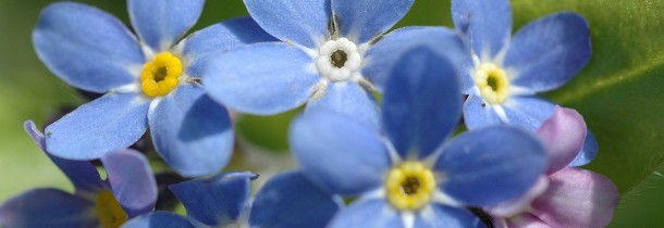 A picture of Forget-me-nots
