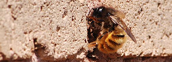 Mason bee at entrance of it's hole.