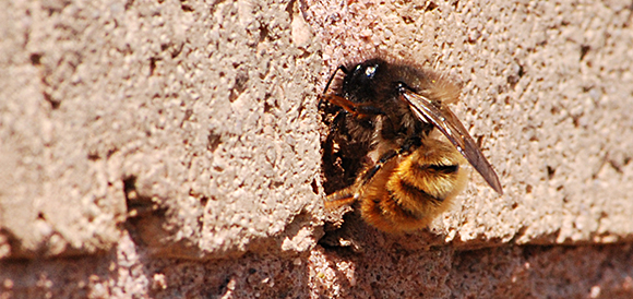 Mason bee at entrance of it's hole.