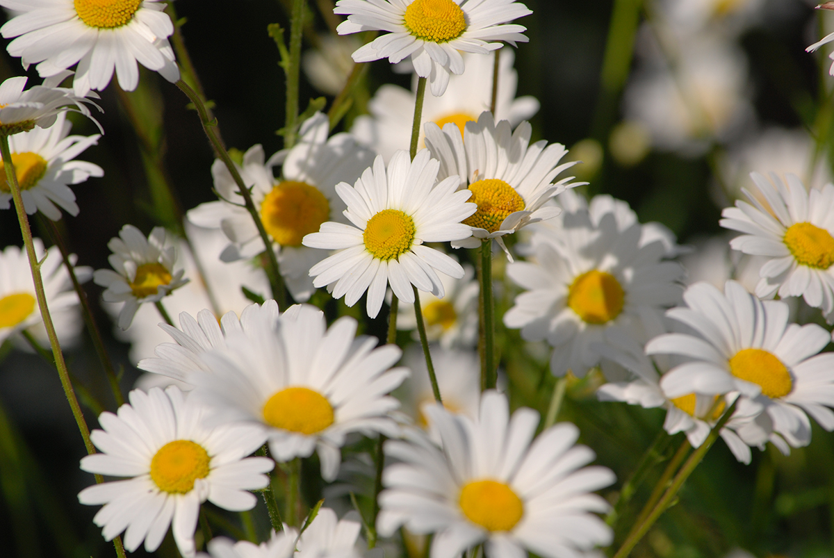 Picture of Oxeye daisies