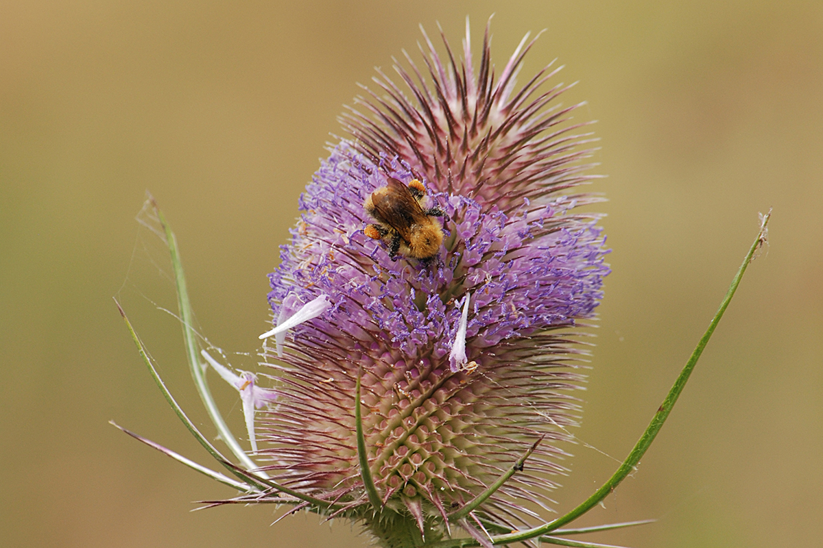 A picture of a Teasle flower head