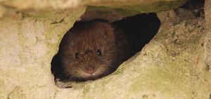 Vole peeking out from garden wall