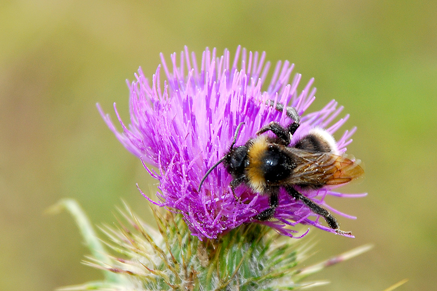 A picture of a Bee on a Thistle