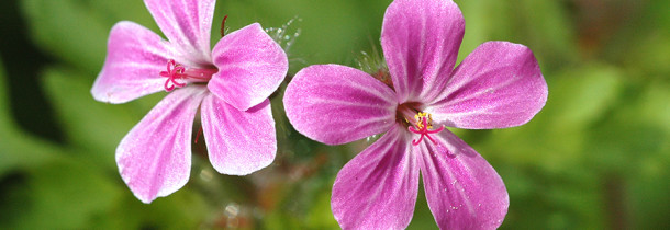Picture of Herb Robert