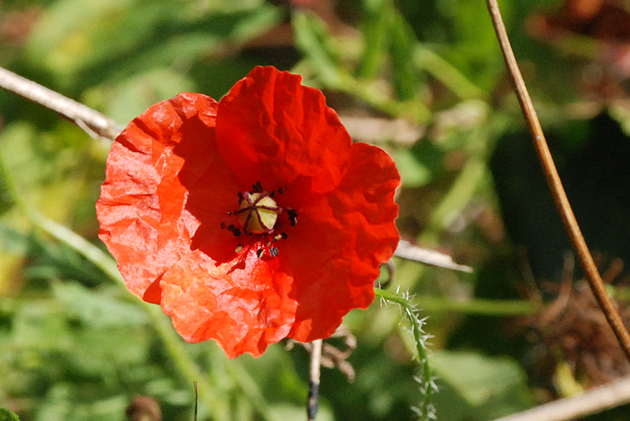 A picture of a poppy