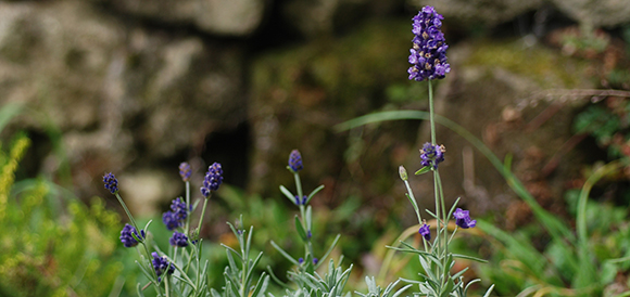 Lavender a butterflybflower