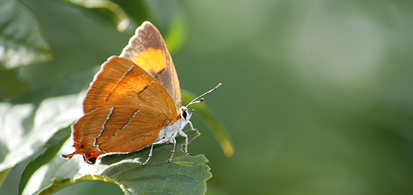 Female brown hairstreak butterfly