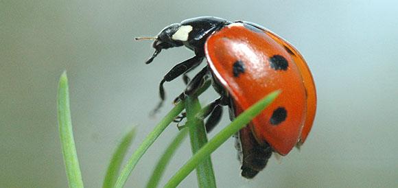 UK 7 spot ladybird