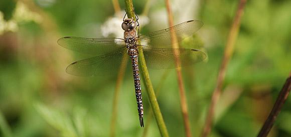 Scarce aeshna dragonfly