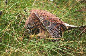 Kestrel eating snake