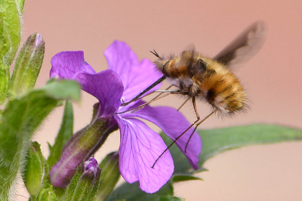Bee fly on purple flower.
