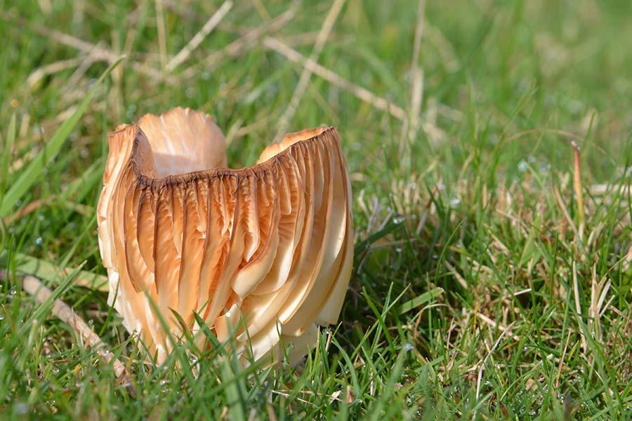 Buff cap (Hygrophorus pratensis) b