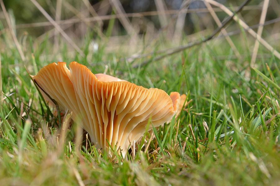 The buff cap or Hygrophorus pratensis is a fungi