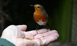 Robin in hand
