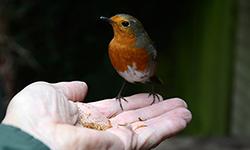 Robin in hand