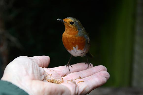 Robin feeding in hand