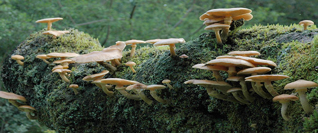 Autumn picture of toadstools growing on a rotting log in a Scottish forest in Scotland