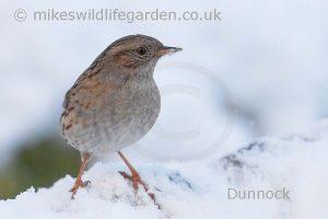 Dunnock in snow