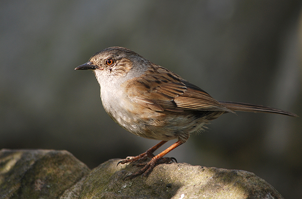 Dunnock sat on the stone wall in my wildlife garden.