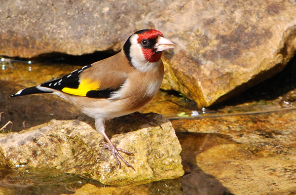 Goldfinch drinking from the pond in my wildlife garden
