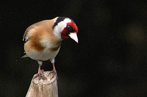 Goldfinch perched on tree stump