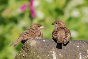 House sparrow chicks