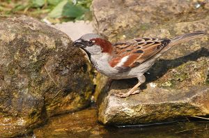House sparrow drinking water from my garden pond
