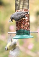 Nuthatch attacking blue tit