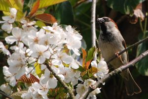 Male house sparrow and blossom
