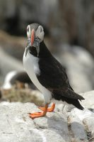 Puffin with sand eels to feed chicks.