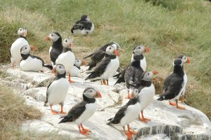 A small group of puffins.