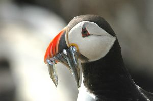 Close-up of puffin with sand eels.