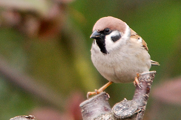 Tree sparrow perched on branch.