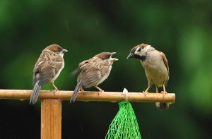 Tree sparrow adult and chicks