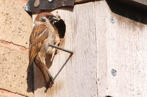 Tree sparrow at nest box hole