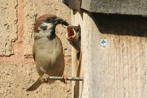 Tree sparrow tempting chick out of nest box.