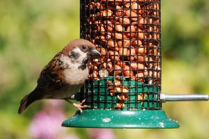 Tree sparrow on peanut feeder