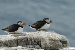 Two puffins watching the sea go by.