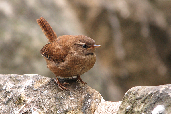 Wren on wall in my wildlife garden