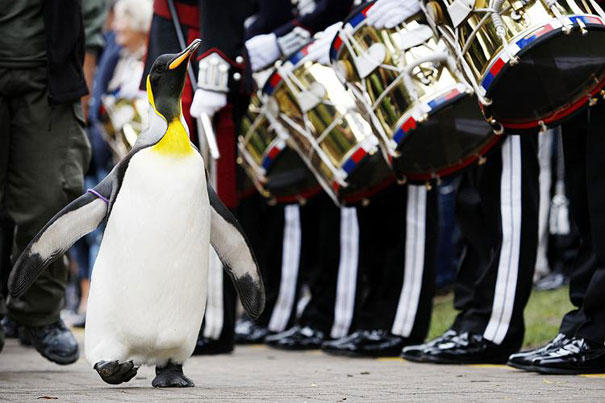 Knighted king penguin
