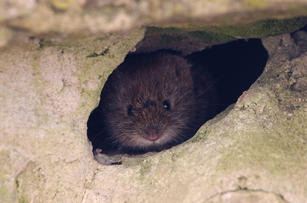 Vole peeking through hole in my garden wall.