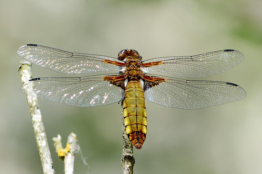 Libellula dragonfly female
