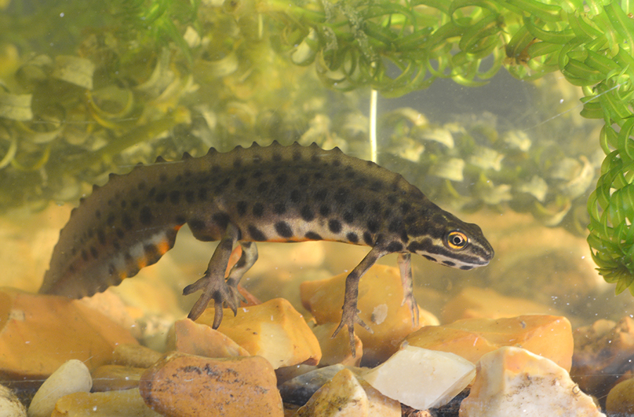 Male newt with heavy spot markings on underside during mating season.