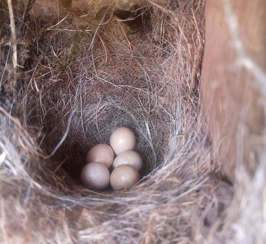 Robin's nest with e five eggs.