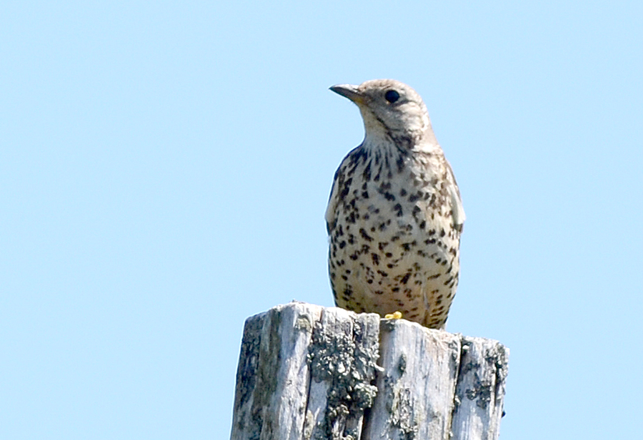 Mistle thrush sat on post.