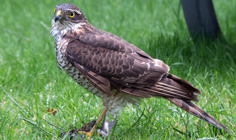 Female sparrow hawk with prey at her feet.