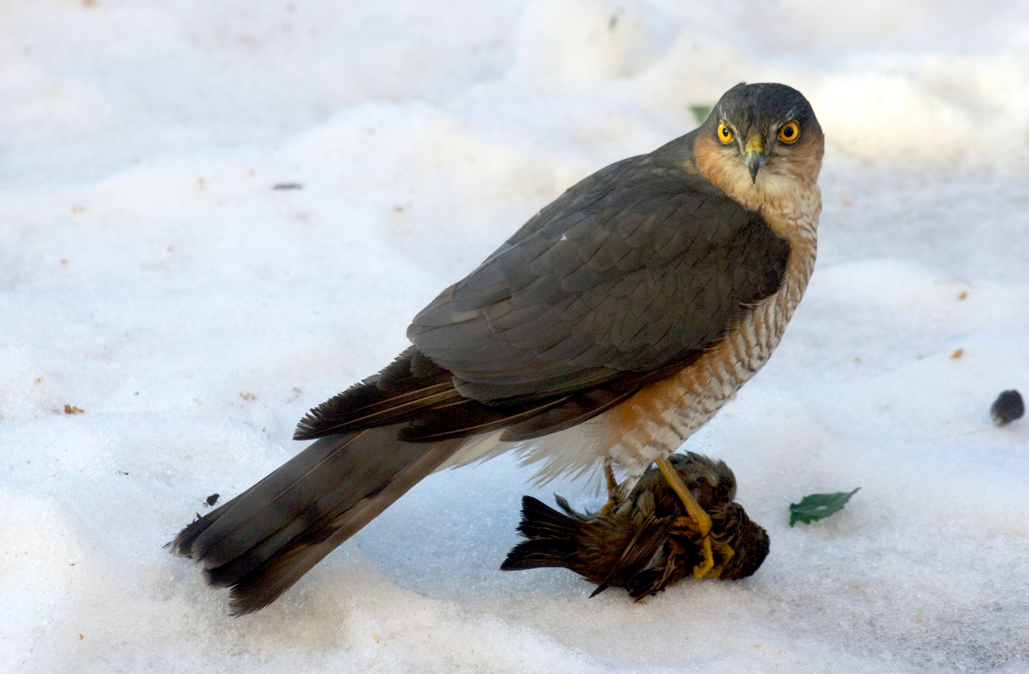 Male Sparrowhawk with a sparrow kill at its feet.